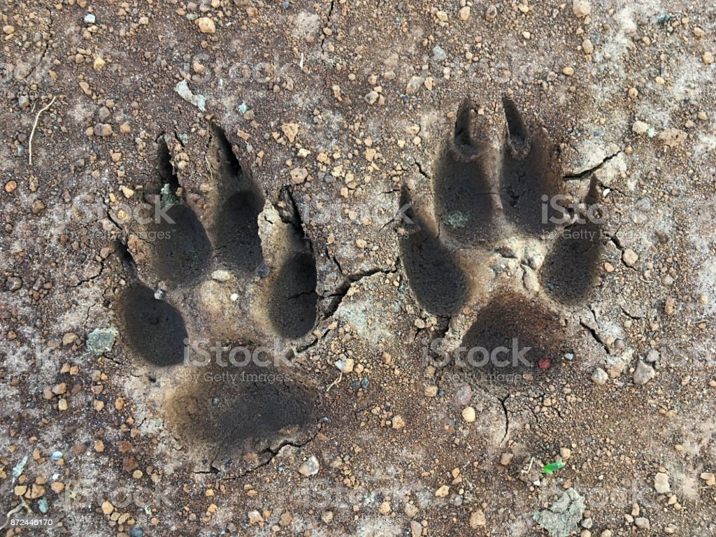 Dog footprints in mud stock photo
