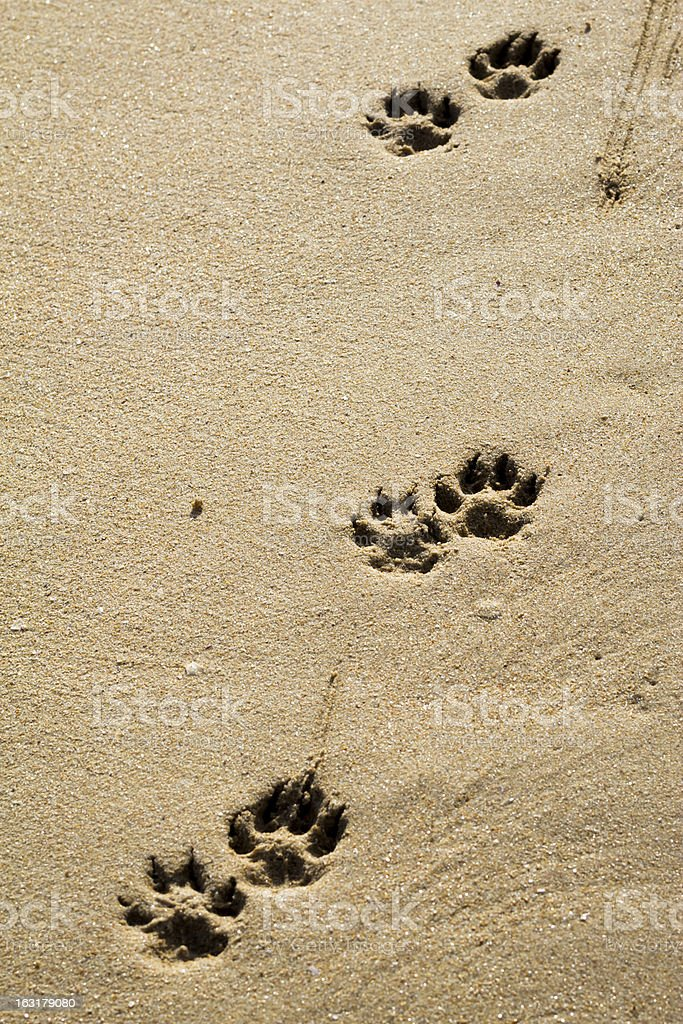 Dog footprints on the sand royalty-free stock photo