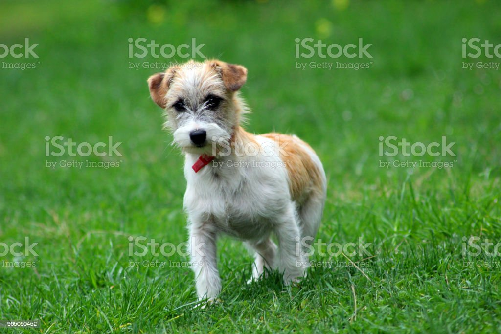 Dog fox terrier royalty-free stock photo