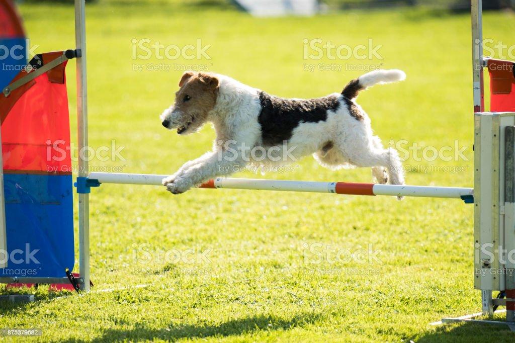 Dog, fox wire hair, jumping agility hurdle stock photo