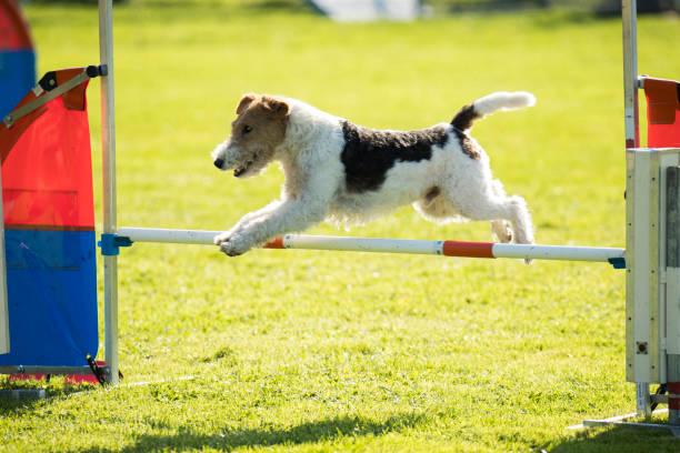 Chien, renard fil cheveux, saut d'obstacle d'agility - Photo