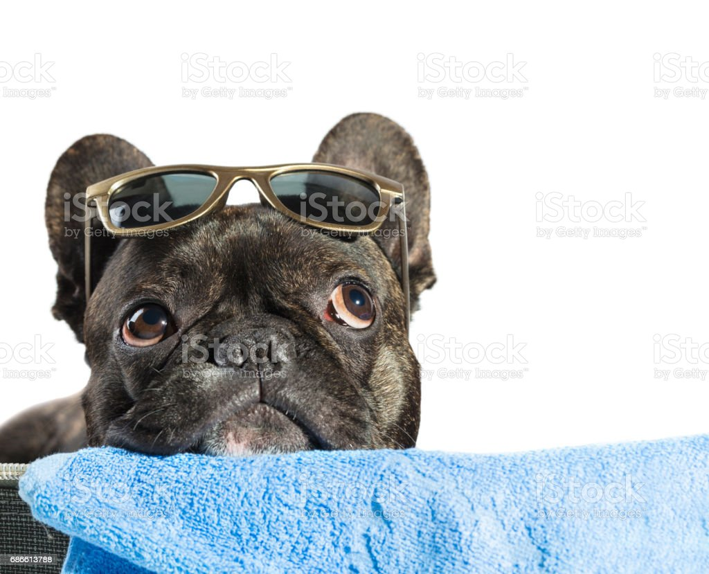 Dog French bulldog royalty-free stock photo