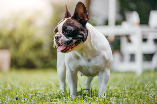 Dog French Bulldog Dog French Bulldog french bulldog stock pictures, royalty-free photos & images