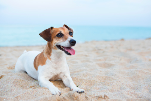 istock Dog friendly beach holidays 506916605
