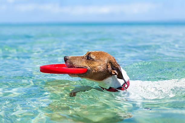 Dog frisbee picture id499061799?b=1&k=6&m=499061799&s=612x612&w=0&h=hdkfevm0xutniu5vwizvnw9lcqte jhv0g1y9srplim=