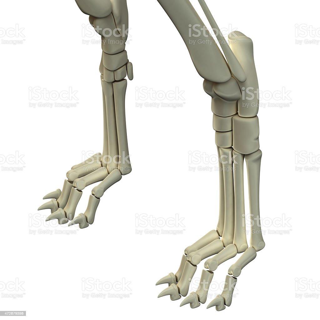 Dog Front Legs Anatomy Bones stock photo | iStock