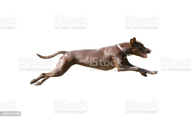 Dog full speed hunting on isolated background picture id953764498?b=1&k=6&m=953764498&s=612x612&h=v3gmzxfvfke3uahee1bose3hzaavwhwmuaecyp6yzpu=
