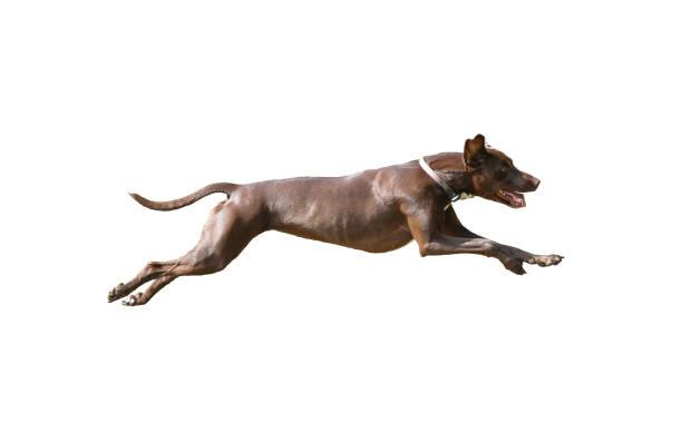 Dog full speed hunting on isolated background picture id953764498?b=1&k=6&m=953764498&s=612x612&w=0&h=9mnxqvr bebo7kl2px2tn8dlamnyybeldpnmsqze5mu=