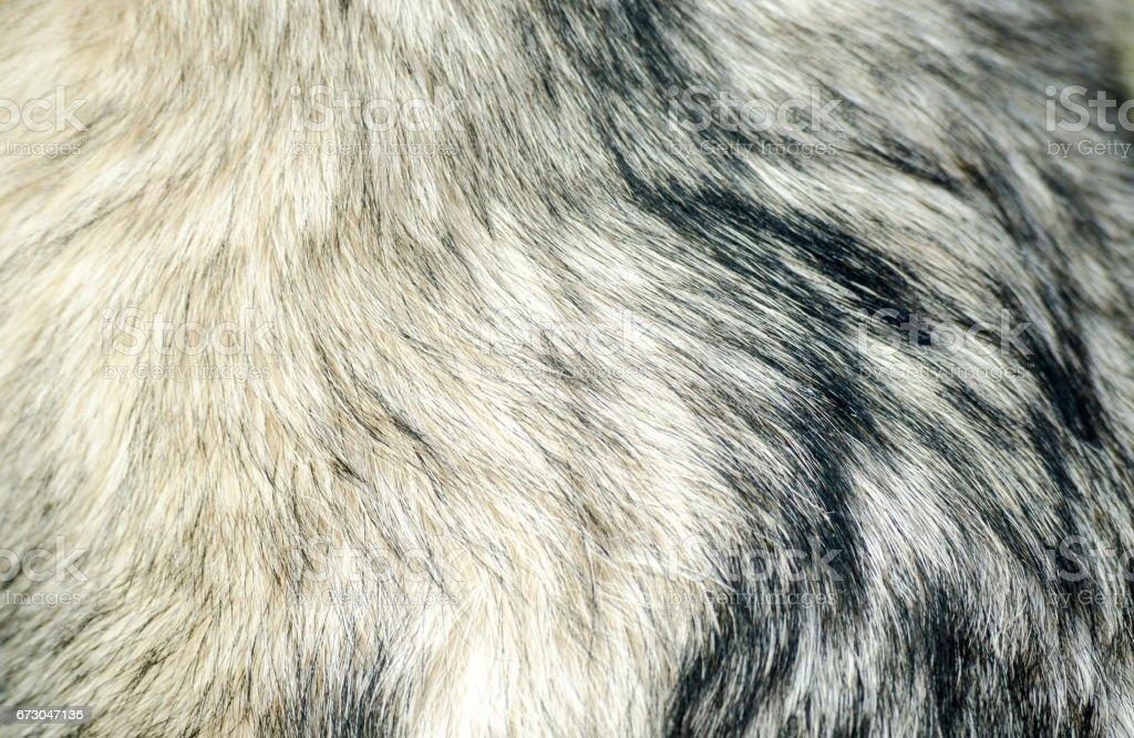 Dog fur. Fur of Alaskan Malamute close up texture. stock photo