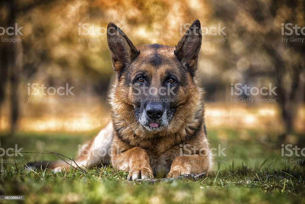 Dog German Shepherd Looking Into Camera stock photo