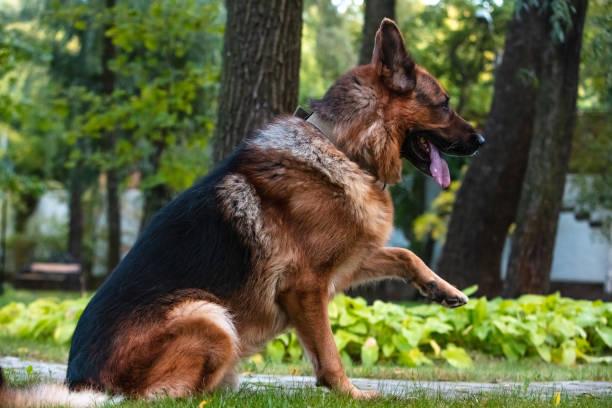 Hund Deutscher Schäferhund bewegt, spielt und springt auf einem grünen Rasen. Pedigree Hund im Freien an einem sonnigen Sommertag. – Foto