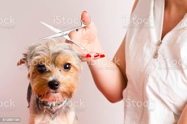 Dog getting groomed at professional salon picture id610581194?b=1&k=6&m=610581194&s=612x612&h=fwxrsjz7fbkjdcljzke8ij06vzkjzmpfs8 knkzh5dm=