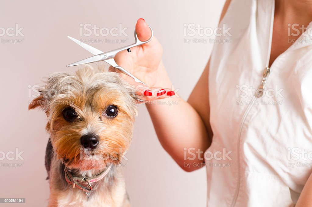Dog getting groomed at professional salon stock photo