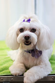 istock Dog getting groomed at professional salon 884130894