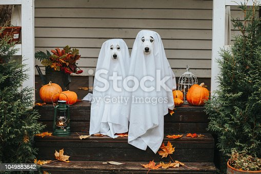 Domestic dogs dressed in ghost costume for Halloween