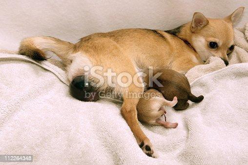 istock Dog giving  Birth 112264348