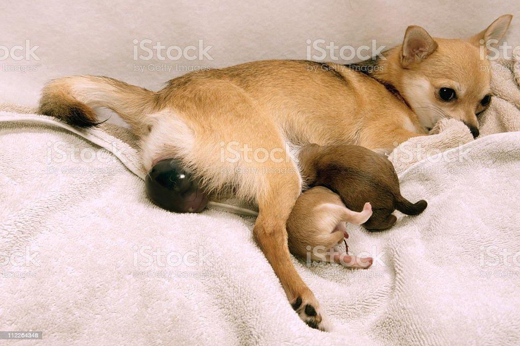 Dog giving  Birth stock photo