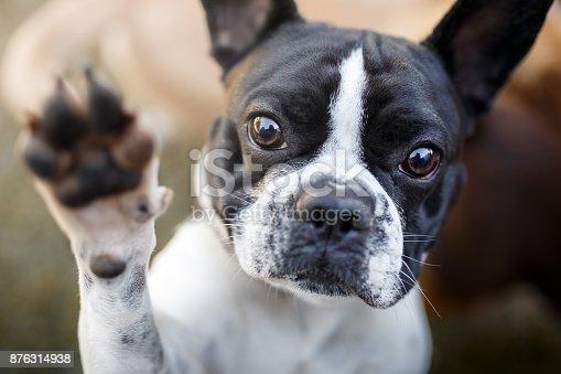 Cute french bulldog giving paw