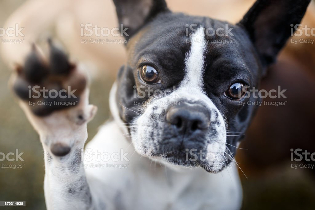 Dog giving paw stock photo
