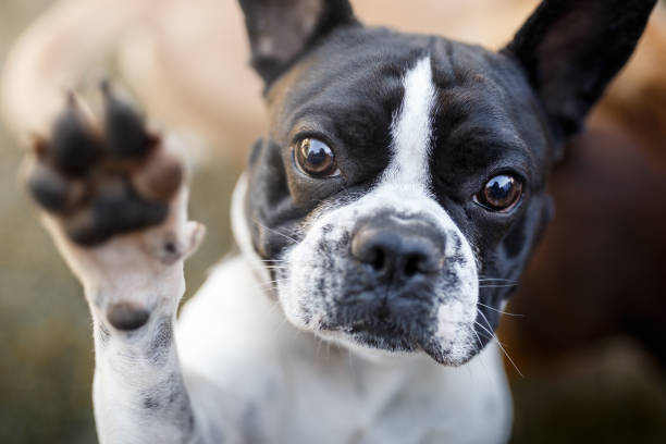 dog giving paw - cute stock pictures, royalty-free photos & images