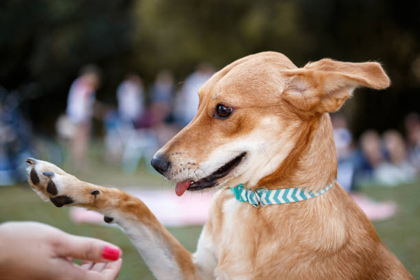 Dog giving the paw A happy dog giving the paw mixed breed dog stock pictures, royalty-free photos & images
