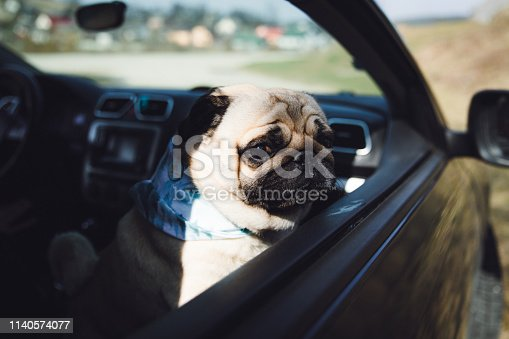 Small fluffy pug in accessory on the road trip by car - going outdoors