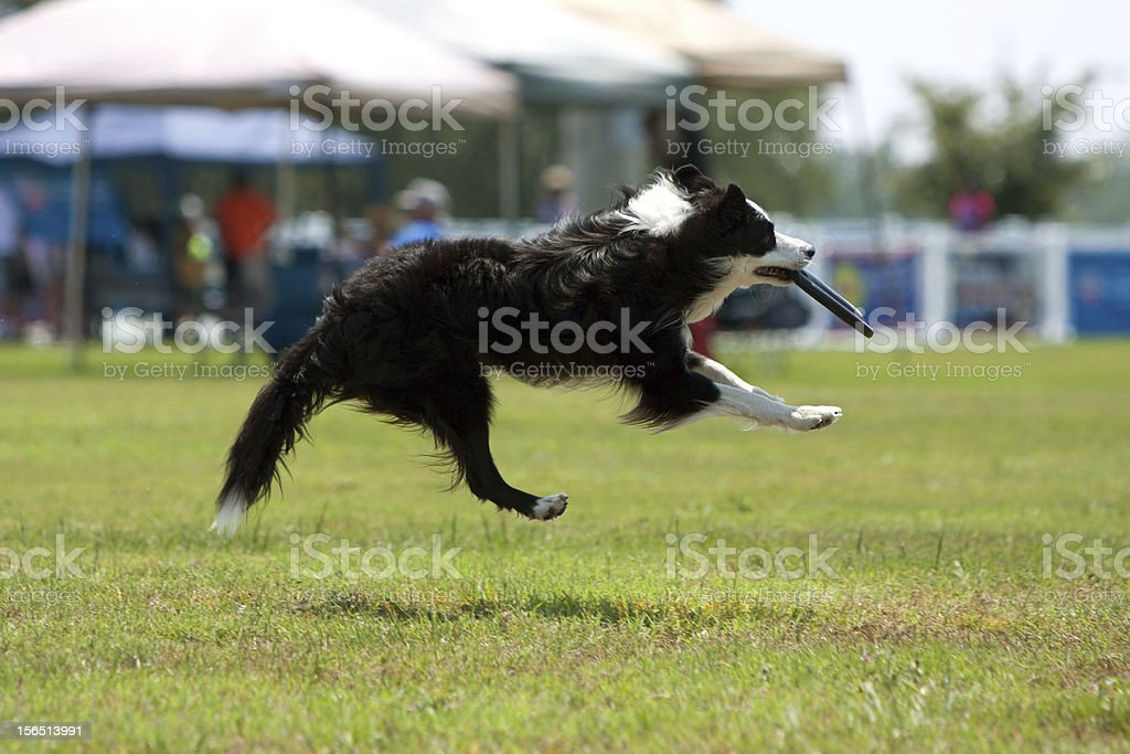 Dog Goes Airborn To Catch Frisbee In Mouth royalty-free stock photo