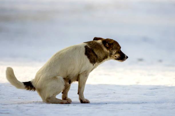 hund geht auf eine toilette auf dem schnee im winter - durchfall beim hund stock-fotos und bilder