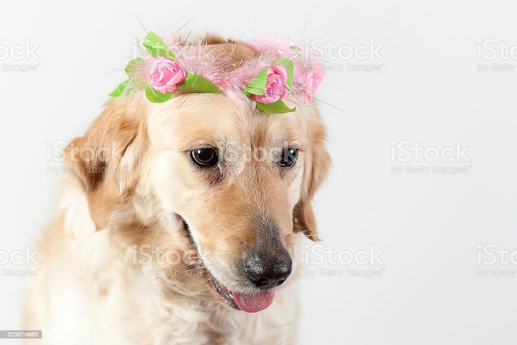 dog golden retriever angel stock photo