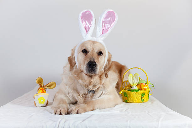 dog golden retriever happy easter stock photo