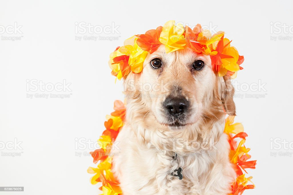 dog golden retriever hawai stock photo