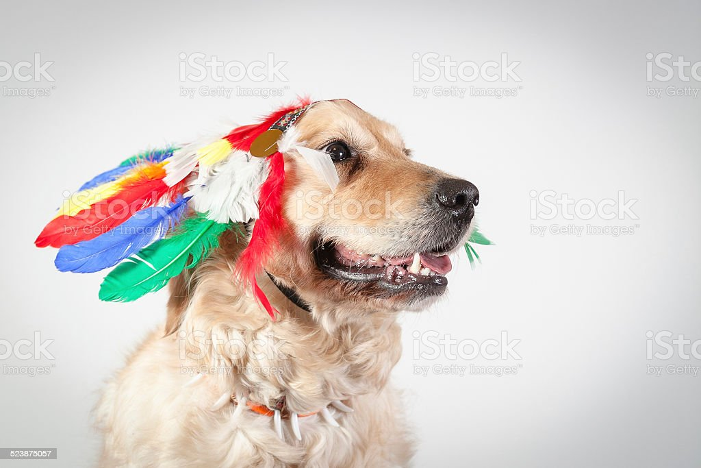 dog golden retriever indian stock photo