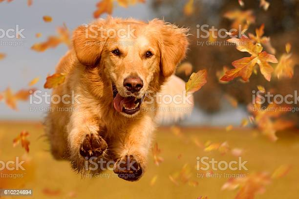 Dog golden retriever jumping through autumn leaves picture id610224694?b=1&k=6&m=610224694&s=612x612&h=ijageffkn3etl5 ctp diqapk7wjtllveioczezqjke=