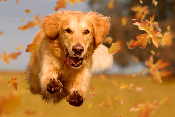 dog, golden retriever jumping through autumn leaves - golden retriever stock photos and pictures