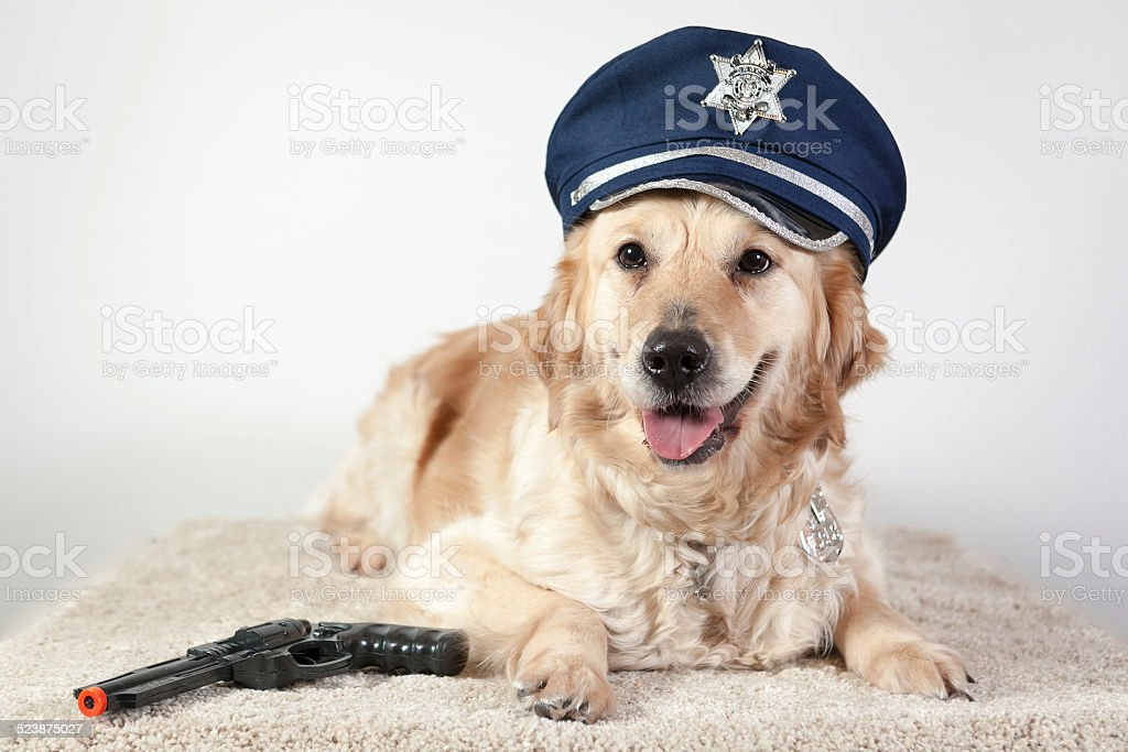dog golden retriever police stock photo