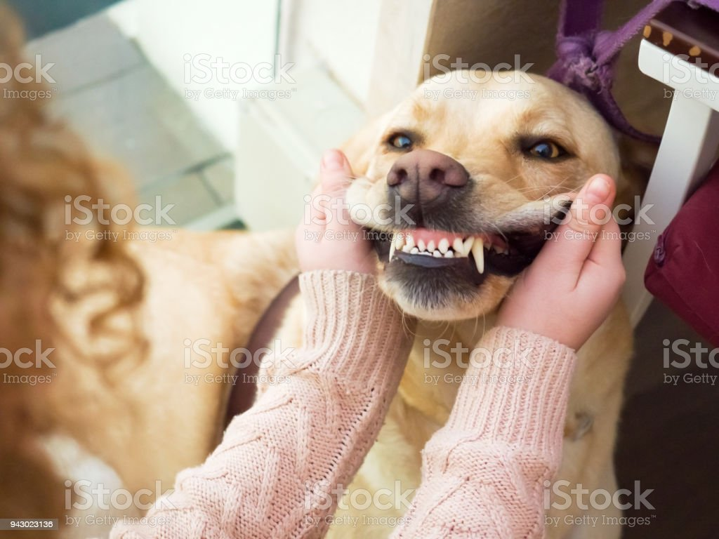 Dog Golden retriever  portrait stock photo