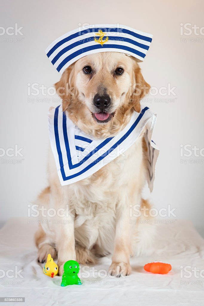 dog golden retriever sailor stock photo
