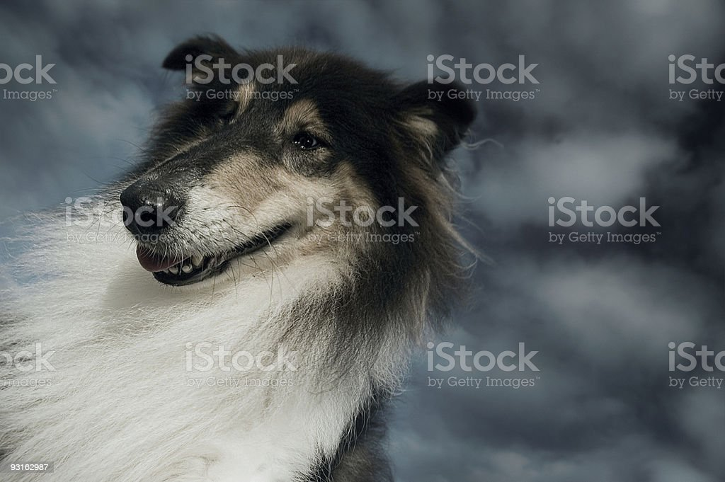 Dog Gone Over -A man's best friend (Rough Collie) royalty-free stock photo