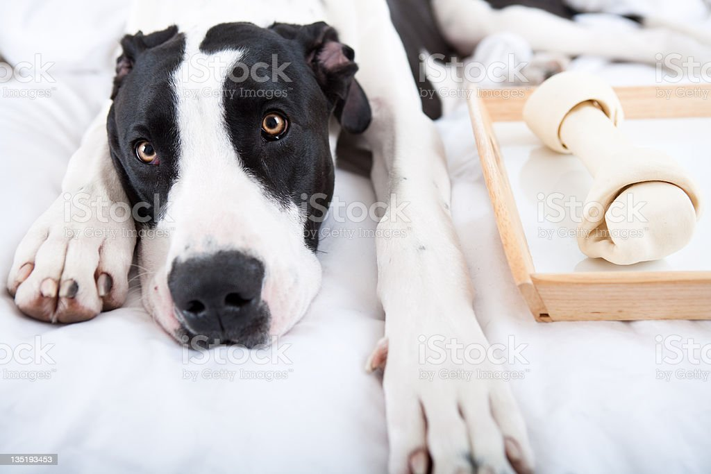 Dog Great Dane eating his bone in bed royalty-free stock photo