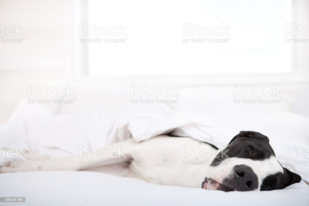 Dog Great Dane sleeping in bed royalty-free stock photo