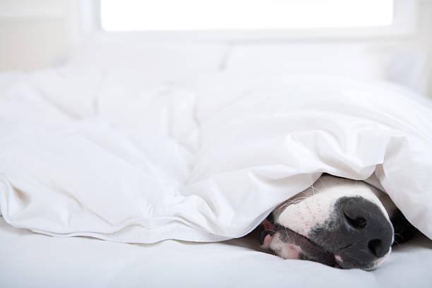 hund dogge schlafen im bett - hunde träger stock-fotos und bilder