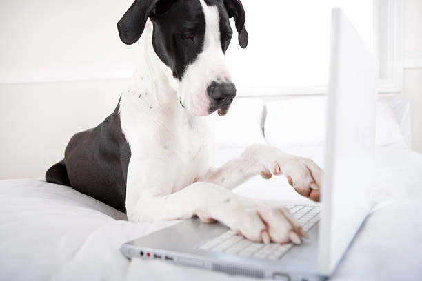 Dog great dane using laptop in bed picture id135193464?b=1&k=6&m=135193464&s=612x612&w=0&h=kotgfpa6 h5xtdgkacejetlrxl3hgaraqlbybpzvo6k=