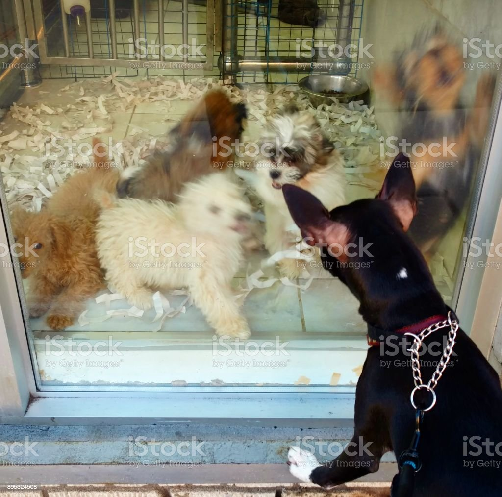 Dog Greets The Puppies In A Pet Shop Window Stock Photo Download