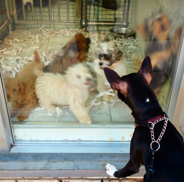 Dog Greets the Puppies in a Pet Shop Window stock photo
