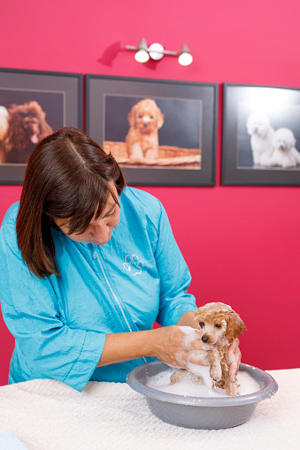 Dog Groomer  cares for brown toy poodle dog in a specialized salon.