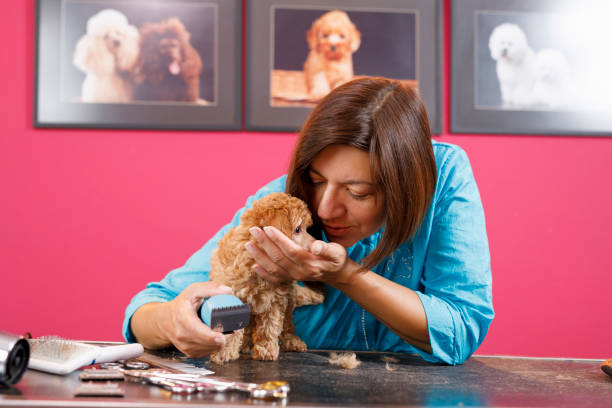 Dog Groomer  cares for brown toy poodle dog in a specialized salon. Female  professional holding pet grooming tools in hands and accessory set on a table surrounded by cut fur in an pet saloon stock photo
