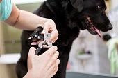 istock Dog groomer cutting nails on black Labrador retriever dog 1011276602