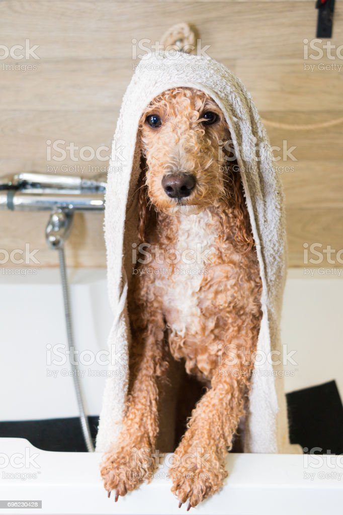 Dog Grooming A Poodle Stock Photo More Pictures Of Adult Istock