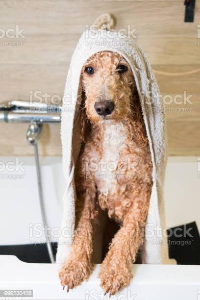 Dog grooming a poodle picture id696230428?b=1&k=6&m=696230428&s=612x612&h=ic3vpb1gs5u17flmtwtzvy8cgmc2rfg2i3c6uqjtepg=