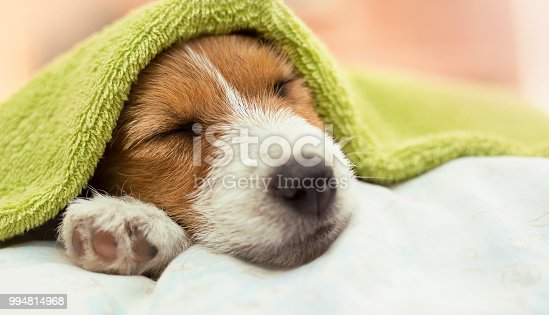 istock Dog grooming - cute Jack Russell puppy dog sleeping after bath 994814968